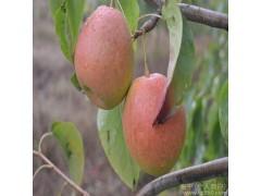 全国供应 会理县  有机健康  香园梨  大凉山特色水果  中华蜜梨 果中之王欢迎在线洽谈-- 山东晓礼维客生物科技有限公司