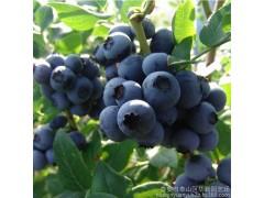 奥尼尔新鲜蓝莓鲜果头茬大果现摘现发基地直供批发 绿色原生态水果-- 泰安市泰山区华勤园艺场