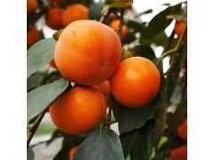 富光果业有限公司  专业供应水果 果树 优质柿树 斤柿-- 鄢陵县富光果业有限公司