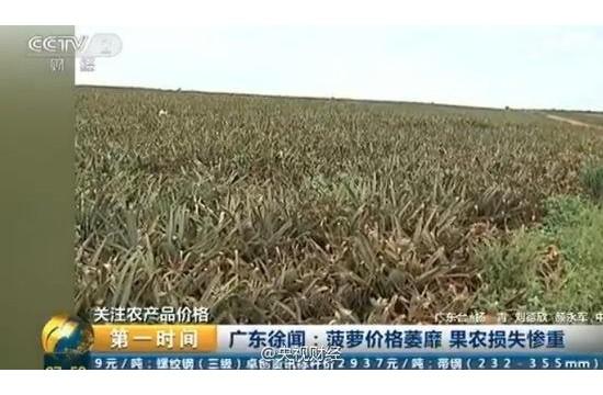 央视曝广东菠萝价格大跌 2毛一斤无人问津(图)